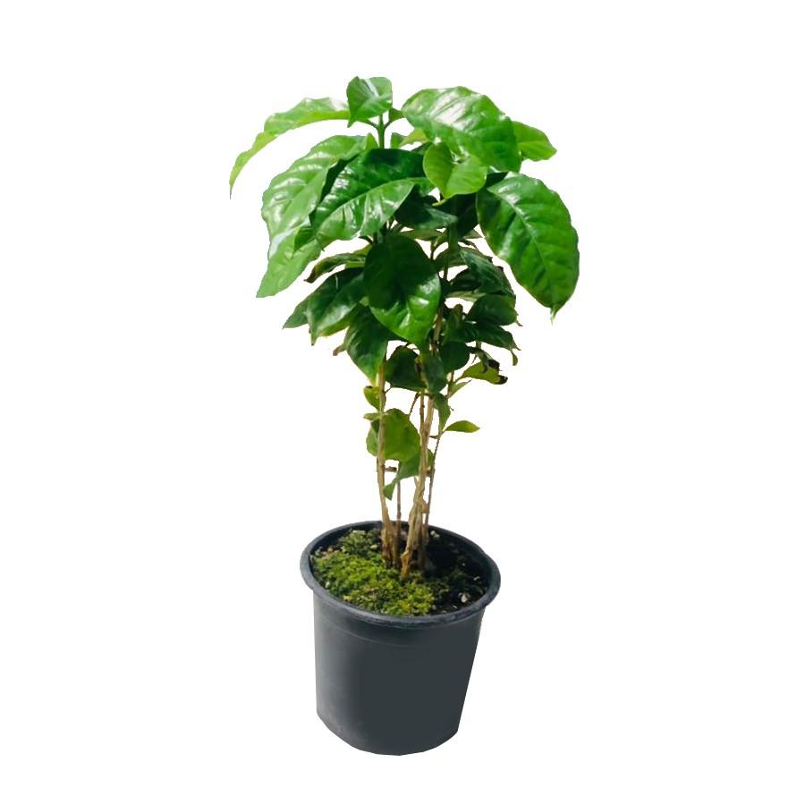 گل طبیعی قهوه مدل sh-2021