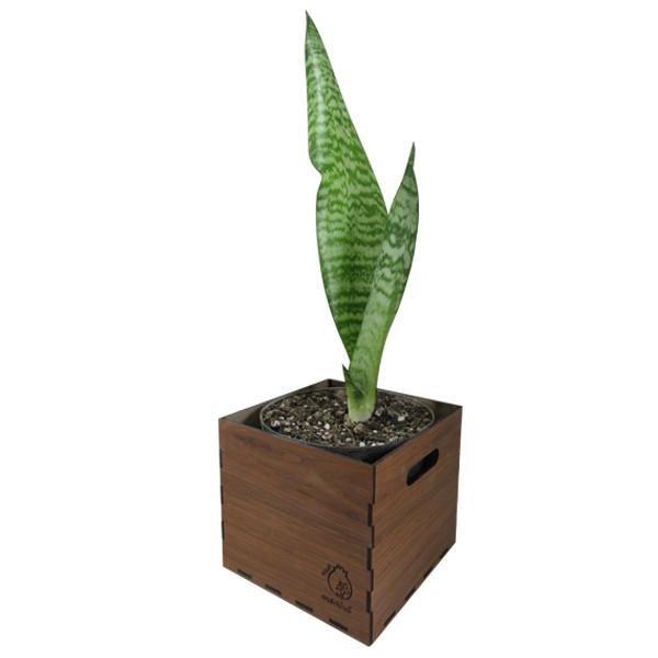 گیاه طبیعی سانسوریا کراواتی ناردونه کد AB - M01