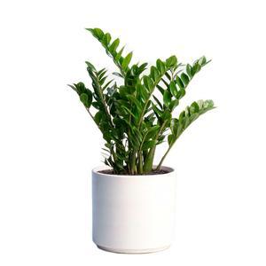 گیاه طبیعی زاموفیلیا کد S12