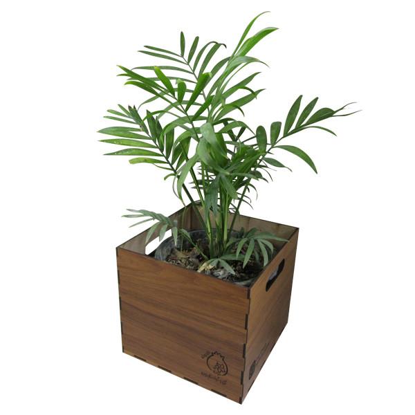 گیاه طبیعی نخل شامادورا ناردونه کد M01