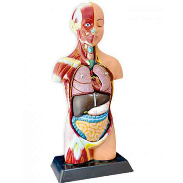 بازی آموزشی مدل آناتومی نیم تنه بدن انسان