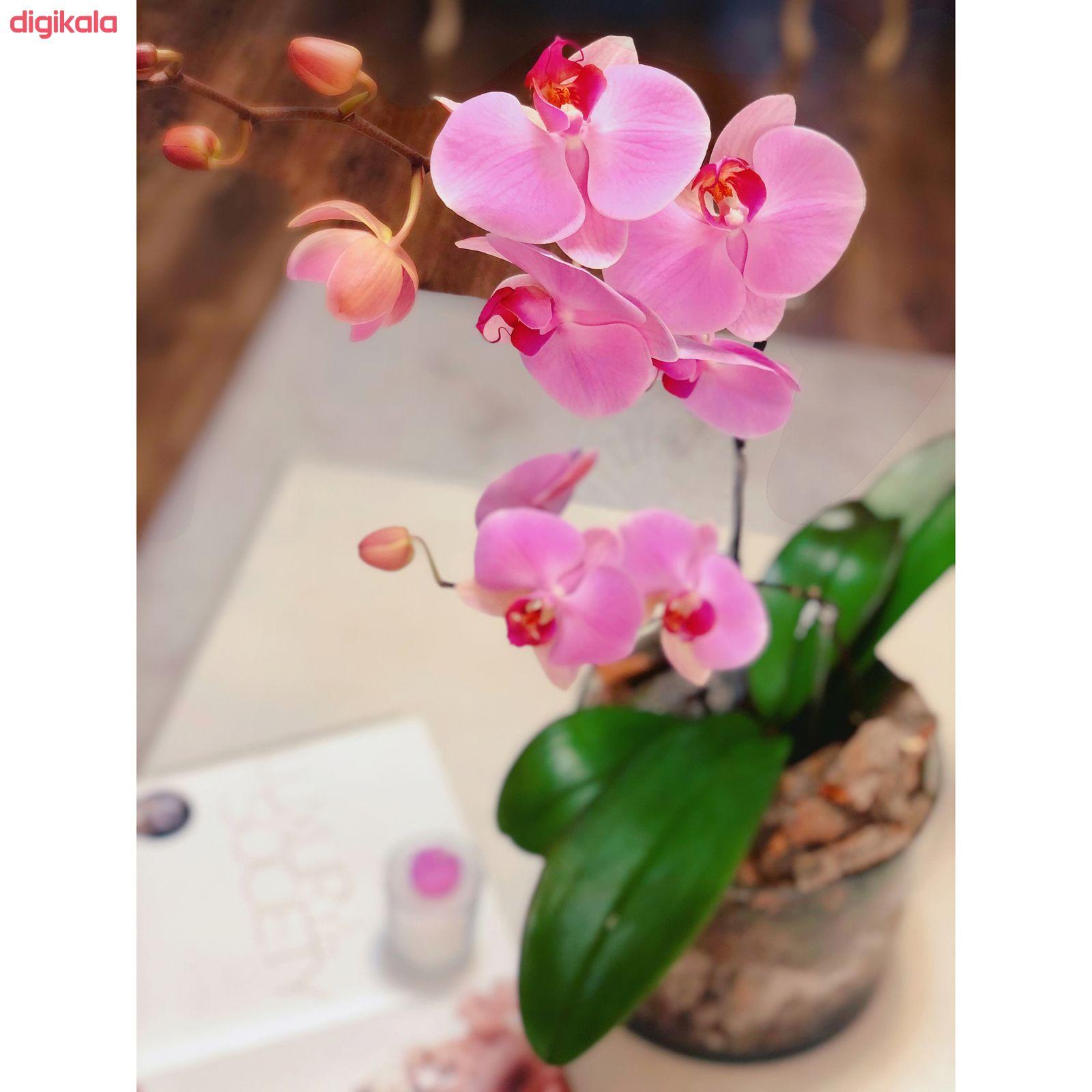 گیاه طبیعی ارکیده صورتی گل گیفت کد GP009 main 1 3