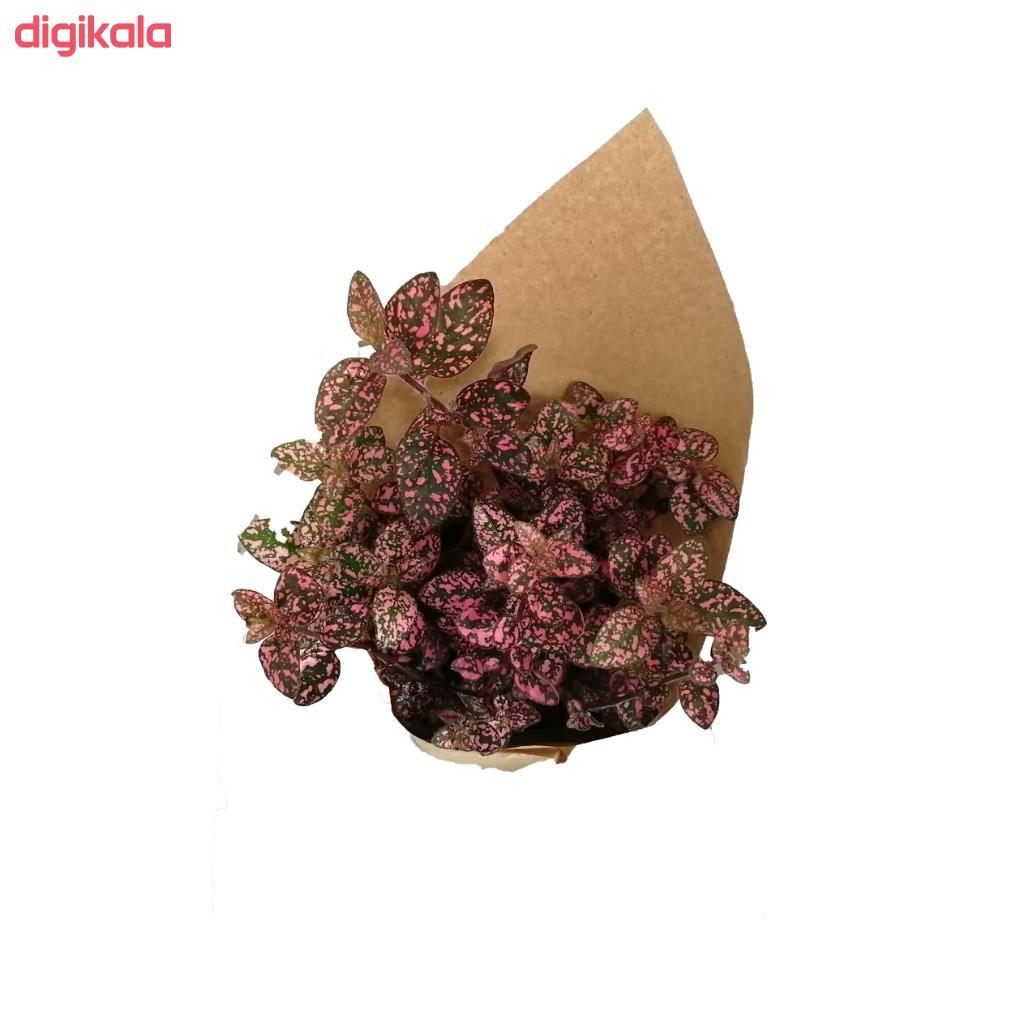 گیاه طبیعی گل سنگ صورتی کد gs16 main 1 2