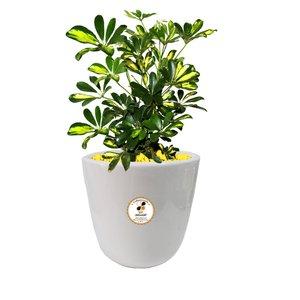 گیاه طبیعی شفلرا گلباران سبز گیلان مدل GN13-4S