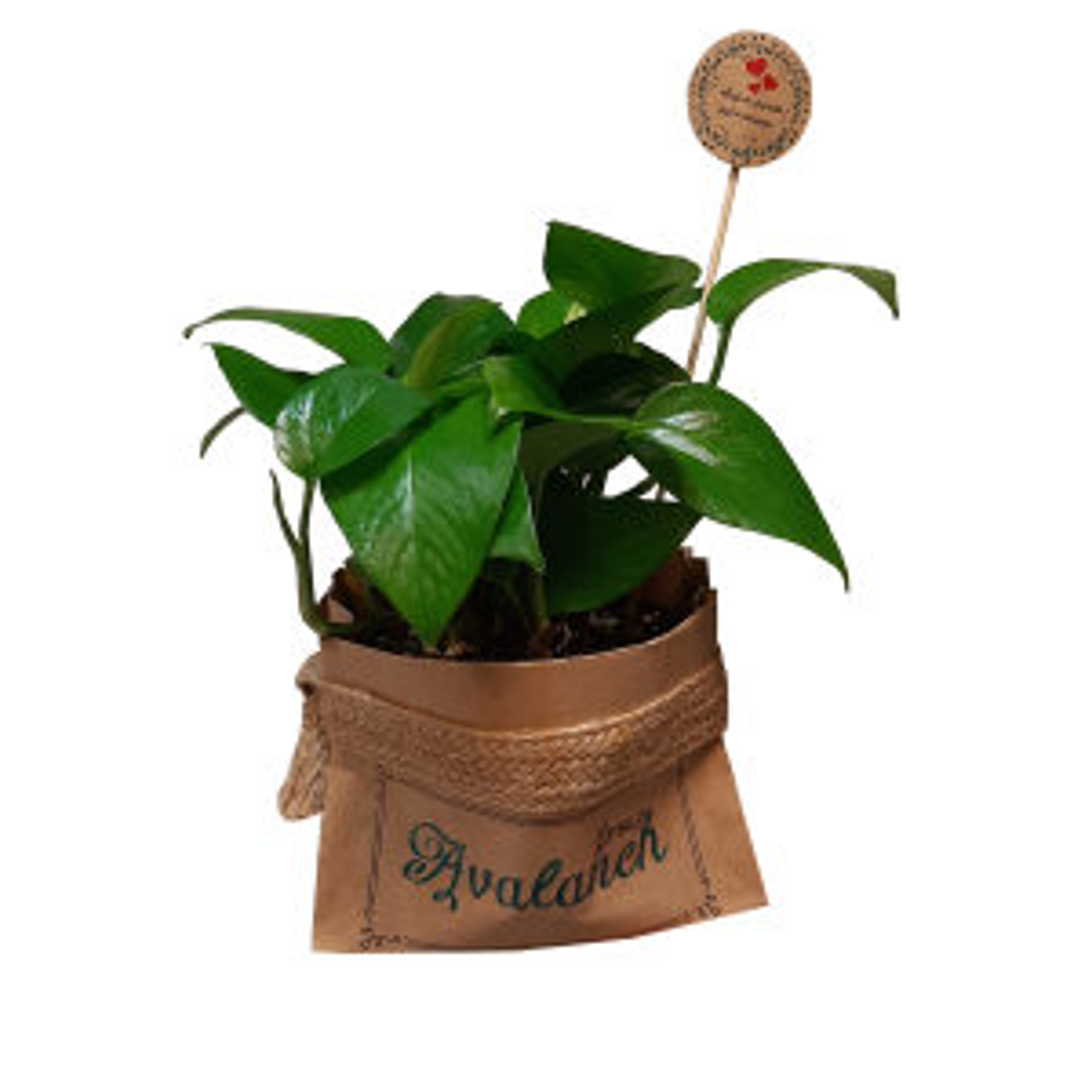 گیاه طبیعی پوتوس کدA.P.01