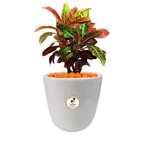 گیاه طبیعی كروتون رنگارنگ گلباران سبز گیلان مدل GN13-2CS