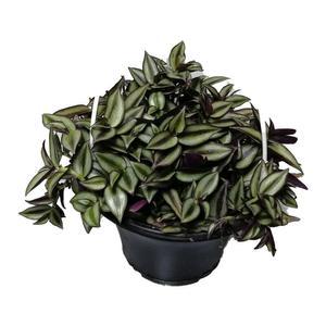 گیاه طبیعی برگ بیدی کد qq18