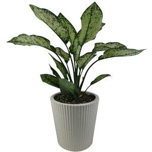 گیاه طبیعی آگلونما کد AB - M01