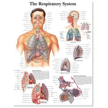 پوستر آموزشی آناتومی بدن انسان مدل 7050 |