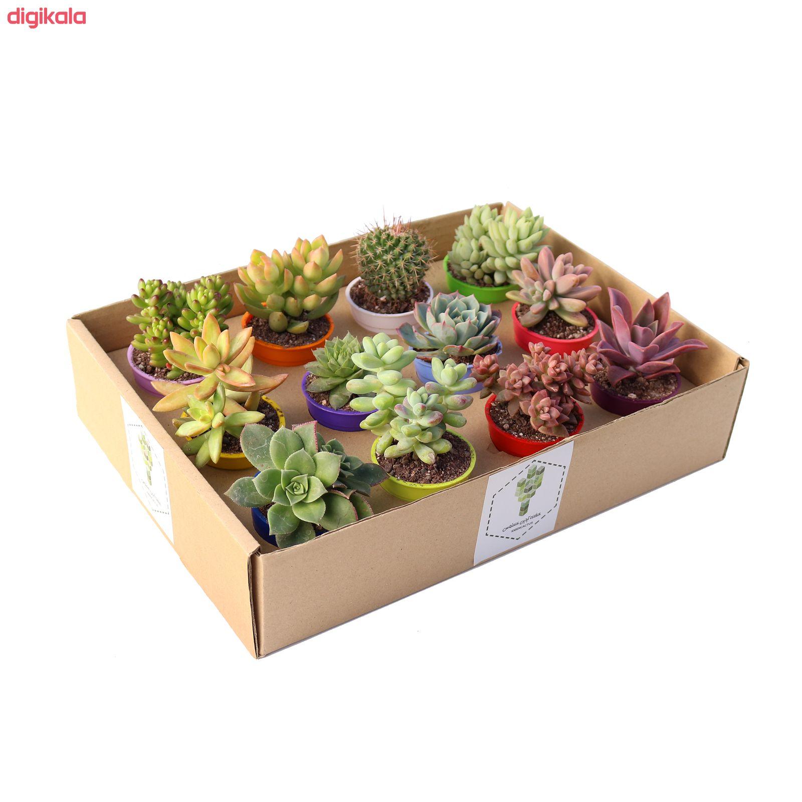 گیاه طبیعی کاکتوس و ساکولنت آیدین کاکتوس کد CB-009 بسته 12 عددی main 1 4