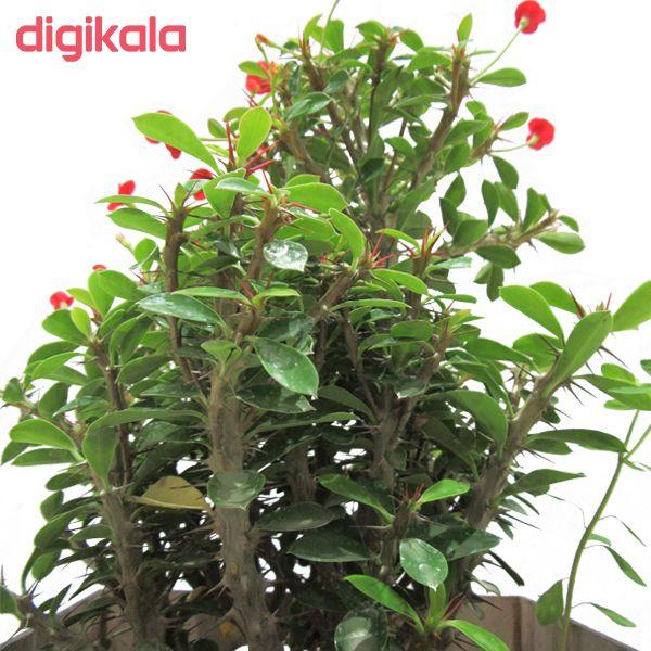 گیاه طبیعی مرجان ناردونه کد M01 main 1 2