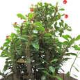 گیاه طبیعی مرجان ناردونه کد M01 thumb 2