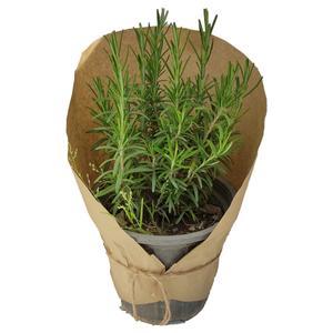 گیاه طبیعی رزماری کد yt40