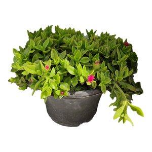 گیاه طبیعی ناز کد byt27