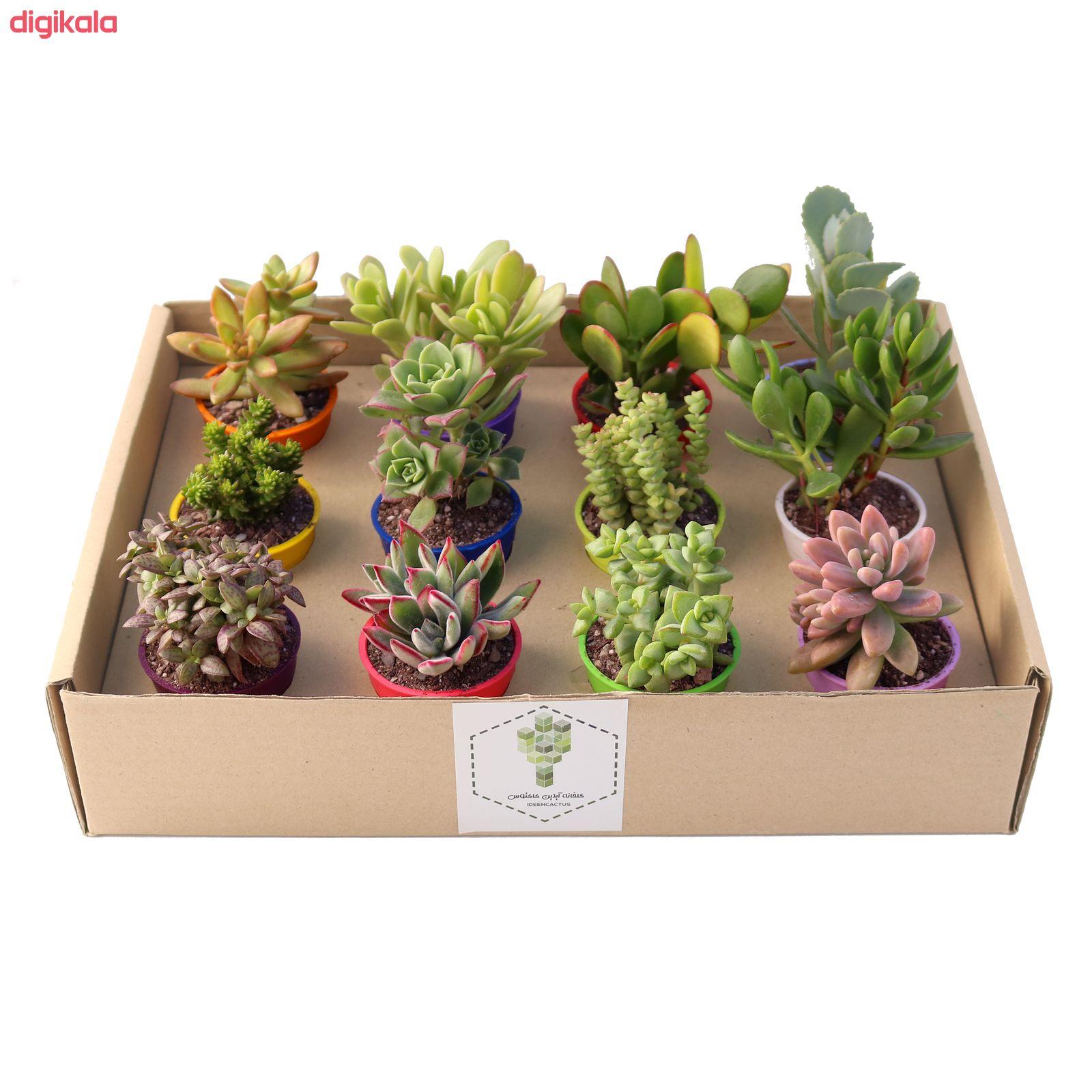 گیاه طبیعی ساکولنت آیدین کاکتوس کد CB-003 بسته 12 عددی main 1 5