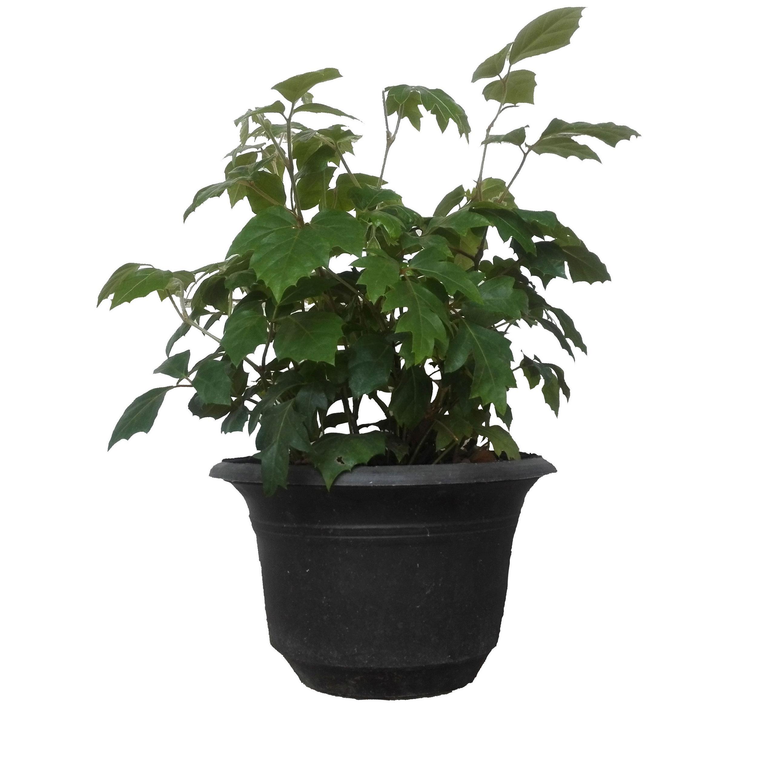 گل طبیعی سیسوس پیچ کانگورو  کد 111