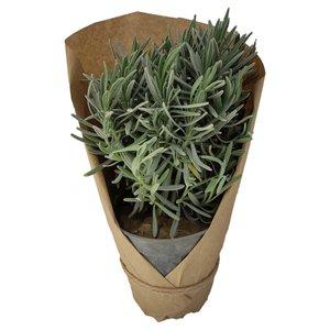گیاه طبیعی لاوندر کد yt41