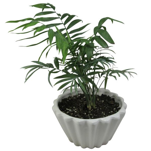 گیاه طبیعی نخل شامادورا کد M01