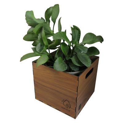 گیاه طبیعی کالانکوآ ناردونه کد  L01