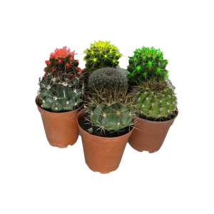 گیاه طبیعی کاکتوس کد qq10مجموعه هفت عددی