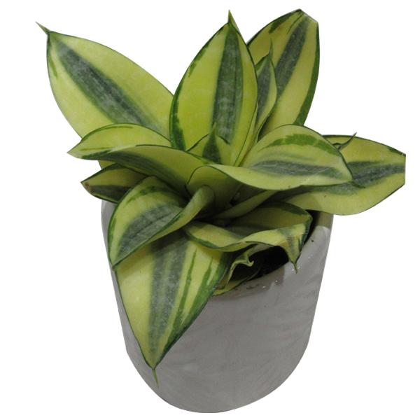 گیاه طبیعی سانسوریا کد AB - M02