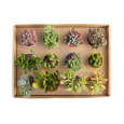 گیاه طبیعی ساکولنت آیدین کاکتوس کد CB-003 بسته 12 عددی thumb 4