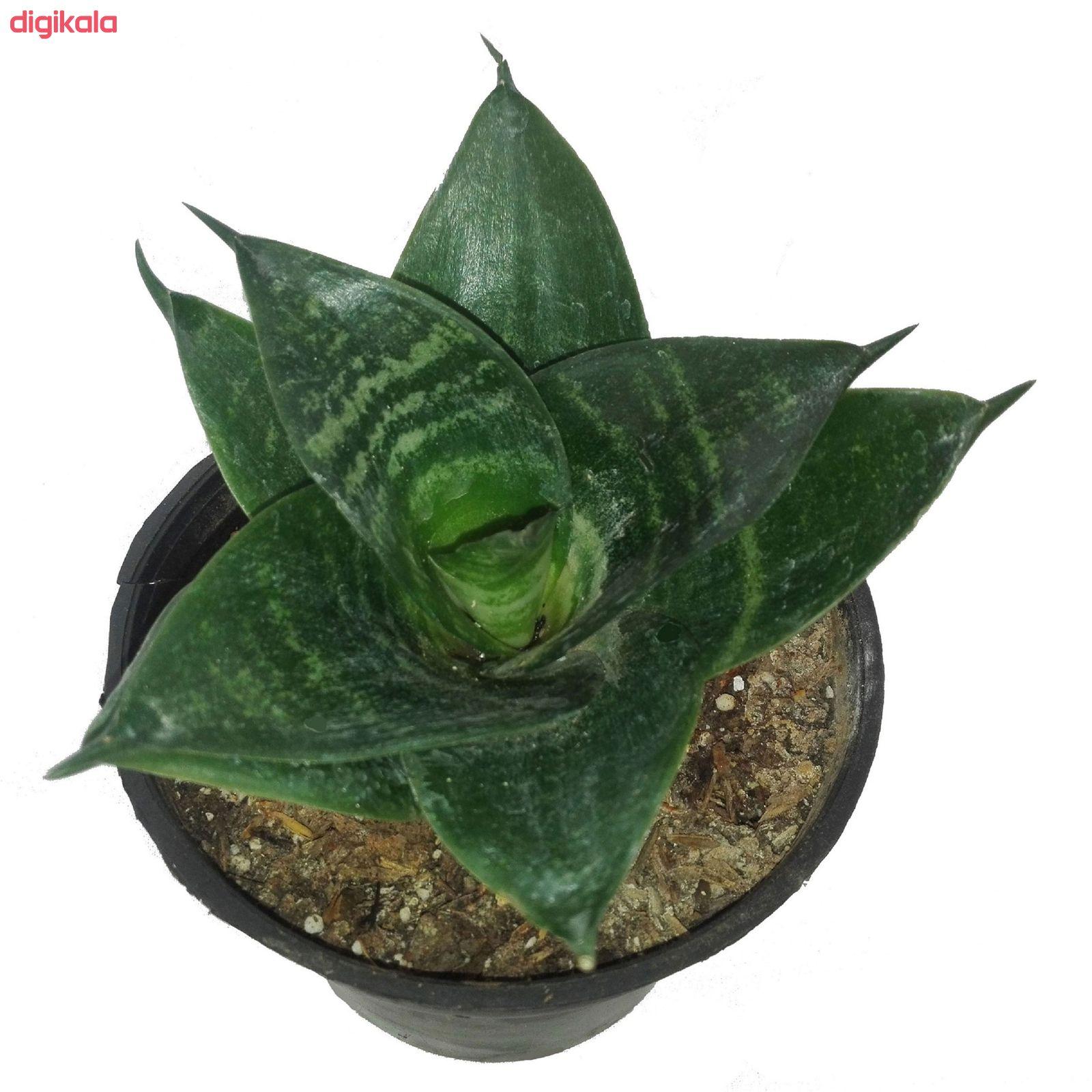 گل طبیعی سانسوریا پا کوتاه سبز کد 103 main 1 2