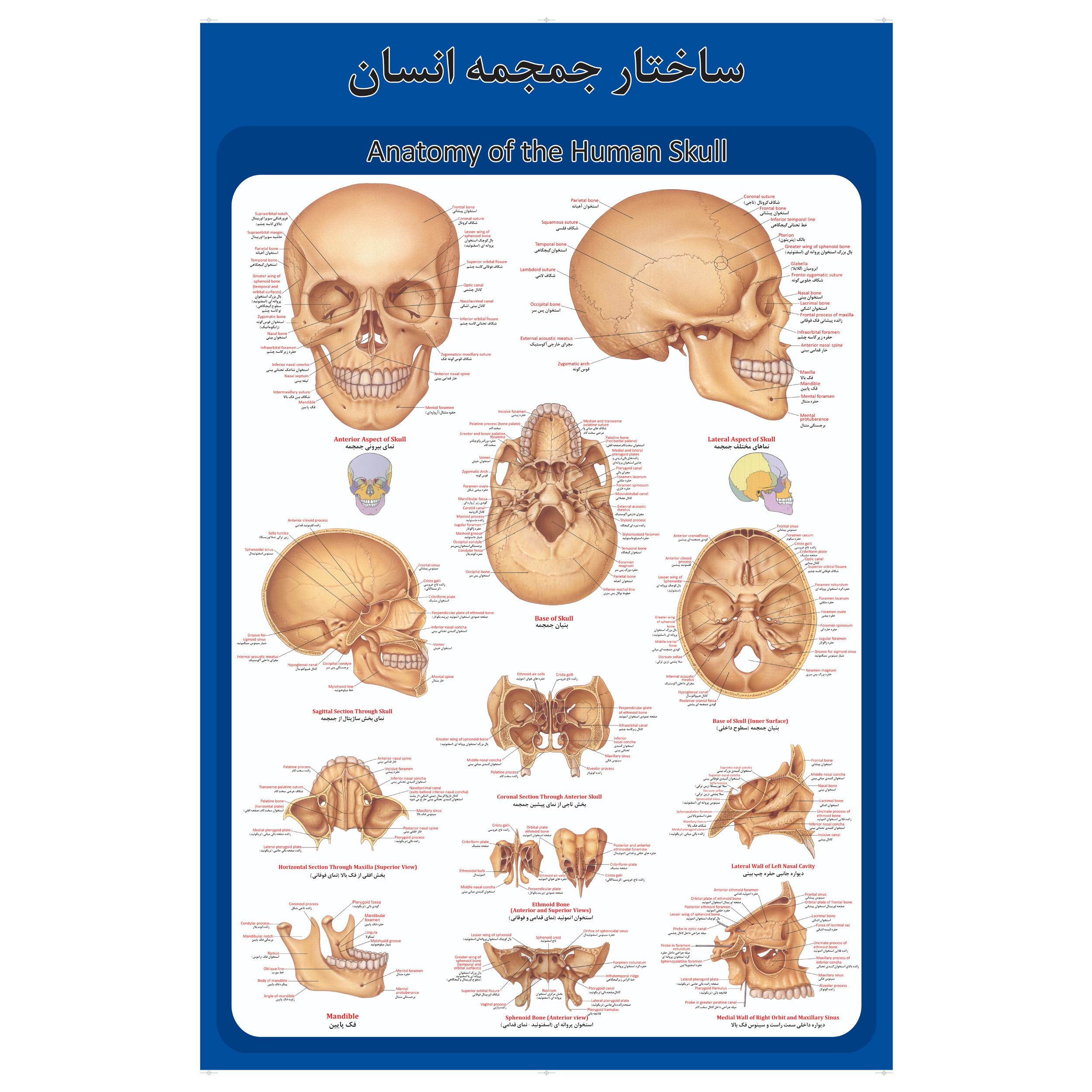 پوستر آموزشی طرح آناتومی جمجمه انسان