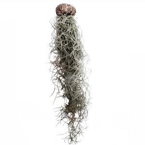 گیاه طبیعی خزه اسپانیایی مدل C-31