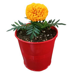 گیاه طبیعی گل جعفری مدل C-23