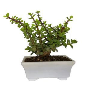 گیاه طبیعی خرفه ای کد qq14