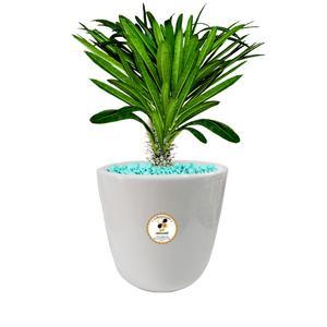 گیاه طبیعی نخل ماداگاسکار گلباران سبز گیلان مدل GN12-19S