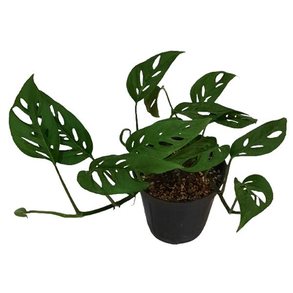 گیاه آپارتمانی پتوس حصیری کد  hasir01