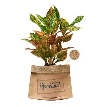 گیاه طبیعی کروتون کد P.A.016