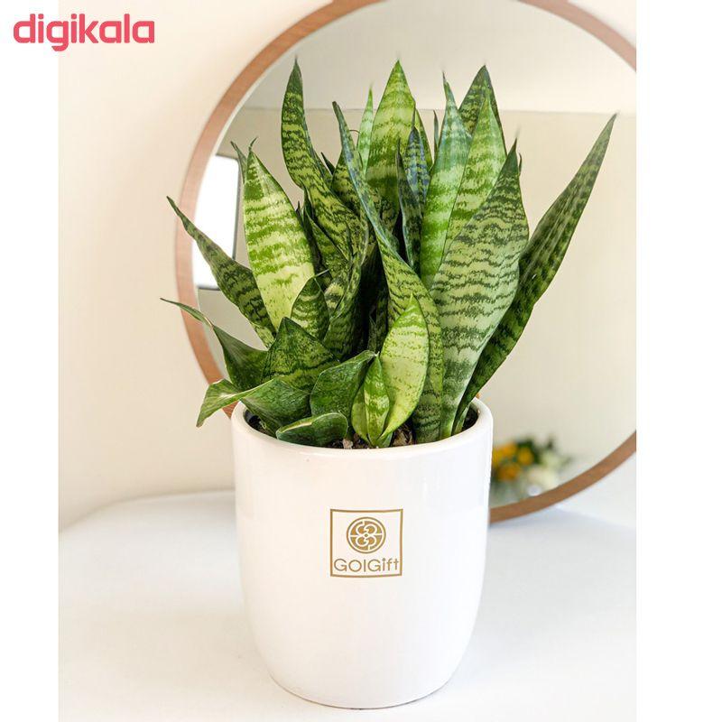گیاه طبیعی سانسوریا کراواتی سبز گل گیفت کد GP002 main 1 3
