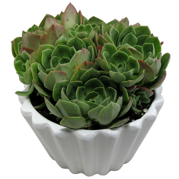 گیاه طبیعی آئونیوم کد L01