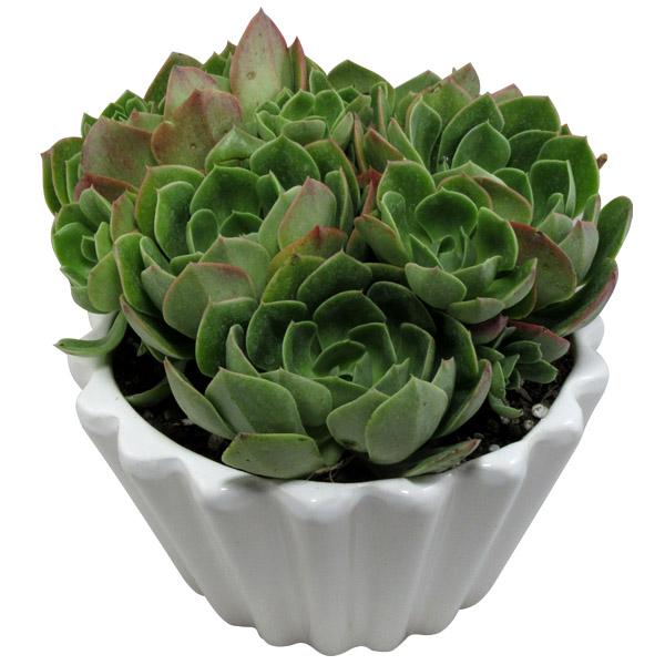 گیاه طبیعی آئونیوم کد L02