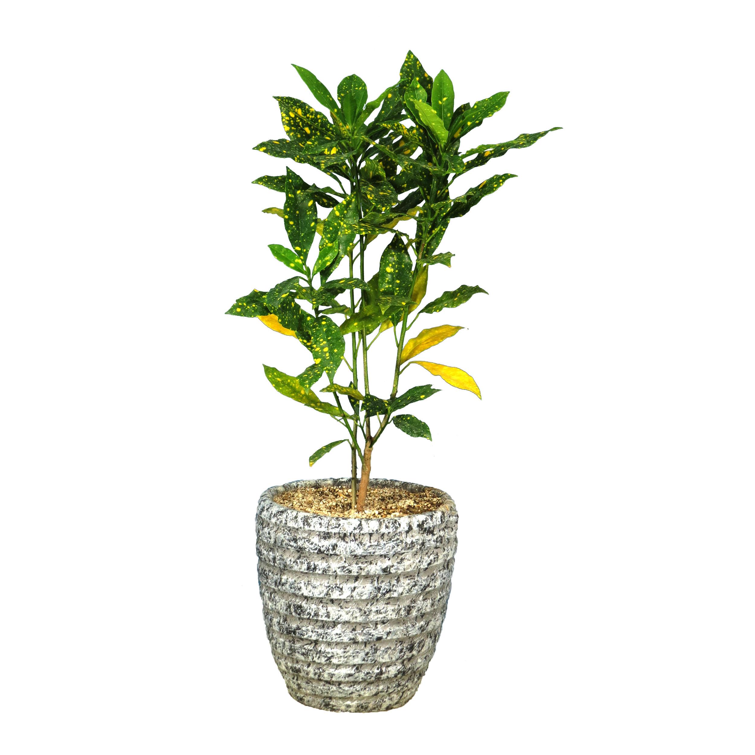 گیاه طبیعی آکوبا قطره طلا کد 22- AS