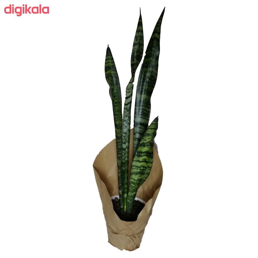 گیاه طبیعی سانسوریا سبز کد qq02 main 1 1