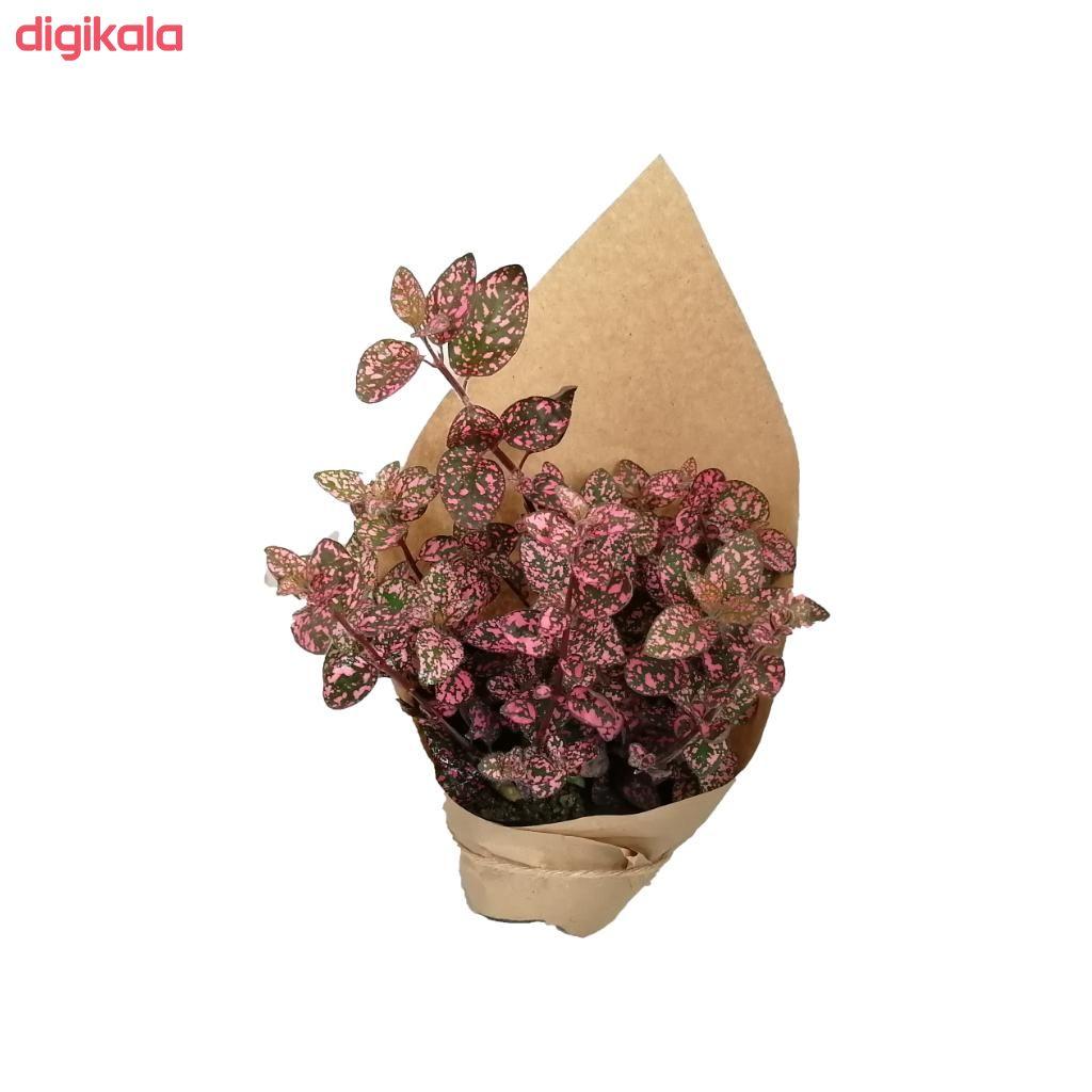 گیاه طبیعی گل سنگ صورتی کد gs16 main 1 1