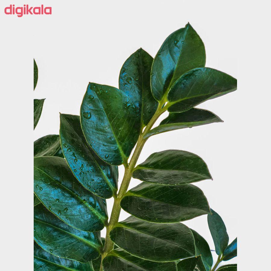 گیاه طبیعی زامیفولیا گل گیفت کد GP005  main 1 2