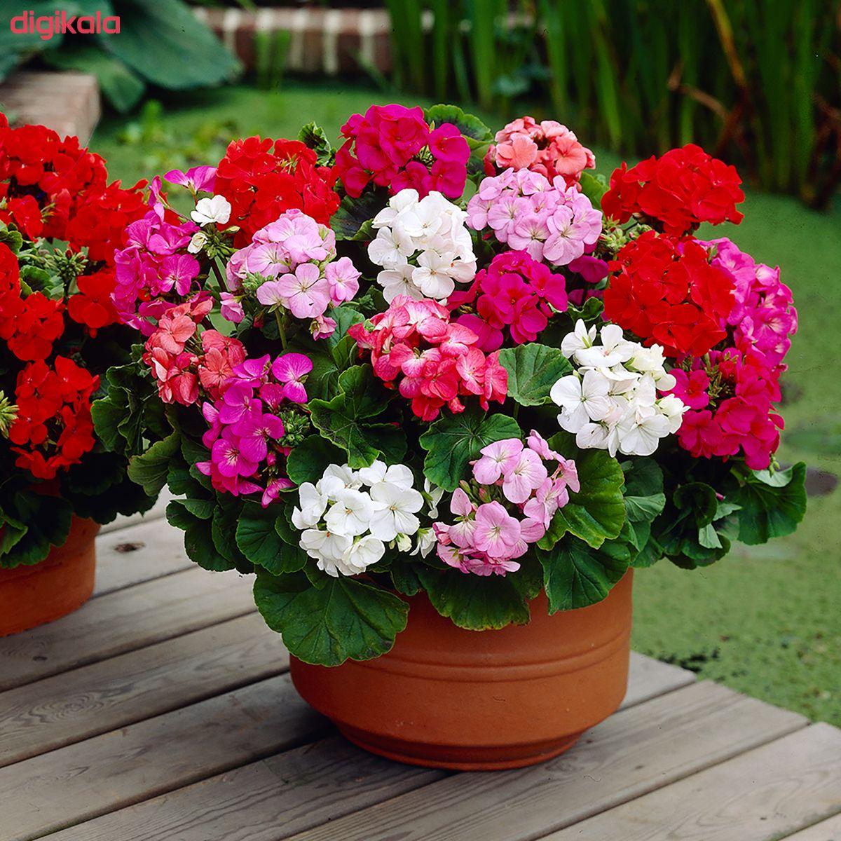 بذر گل شمعدانی پاکوتاه الوان وانیا سید مدل N76 main 1 2