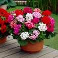 بذر گل شمعدانی پاکوتاه الوان وانیا سید مدل N76 thumb 2