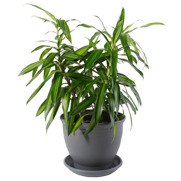 گیاه طبیعی دراسنا بلالی مدل P-03