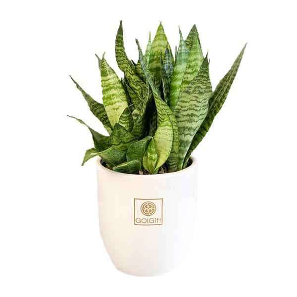 گیاه طبیعی سانسوریا کراواتی سبز گل گیفت کد GP002