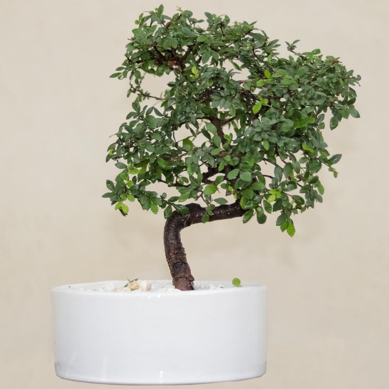 گل طبیعی بونسای نارون ژاپنی مدل elm-s-65