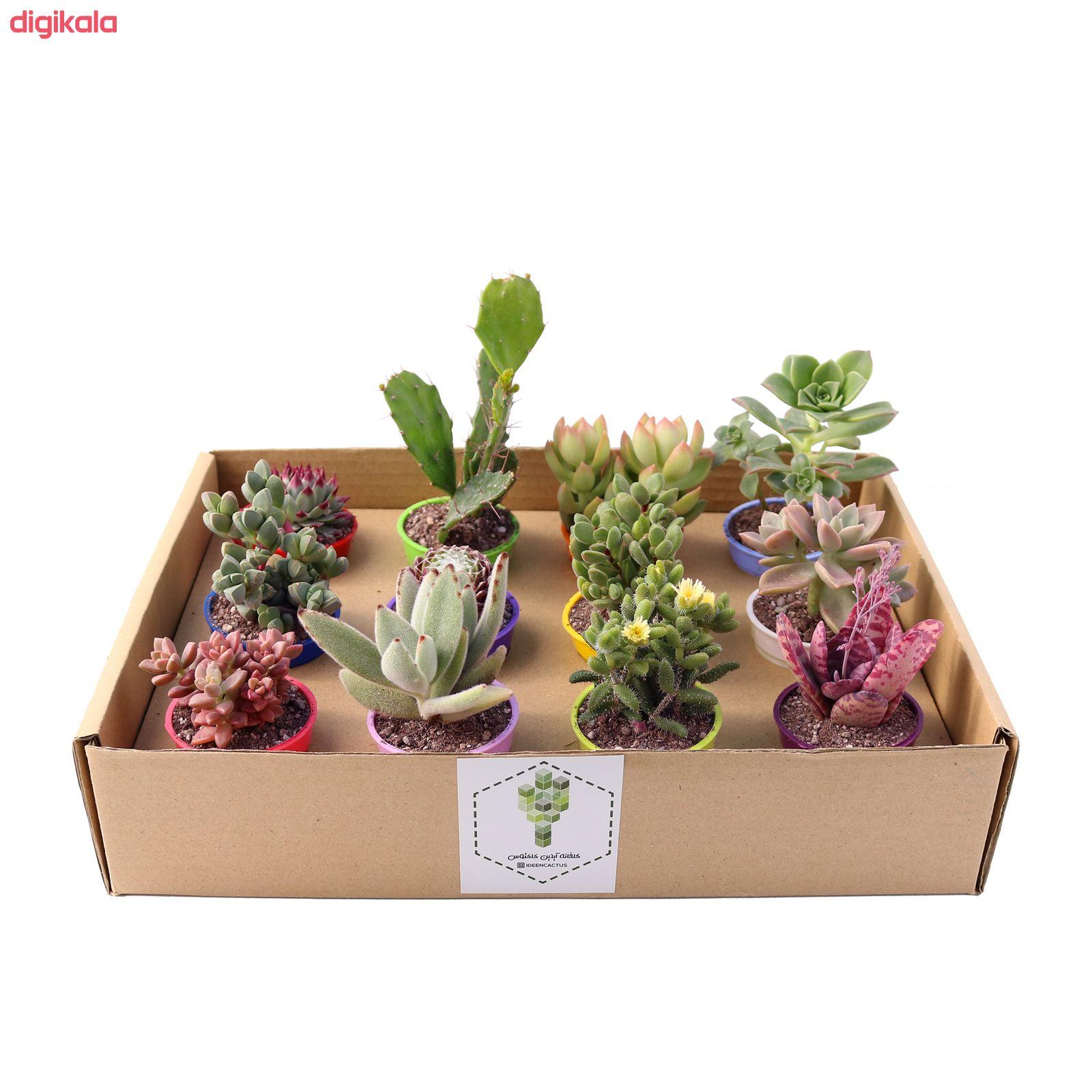 گیاه طبیعی کاکتوس و ساکولنت آیدین کاکتوس کد CB-004 بسته 12 عددی main 1 4