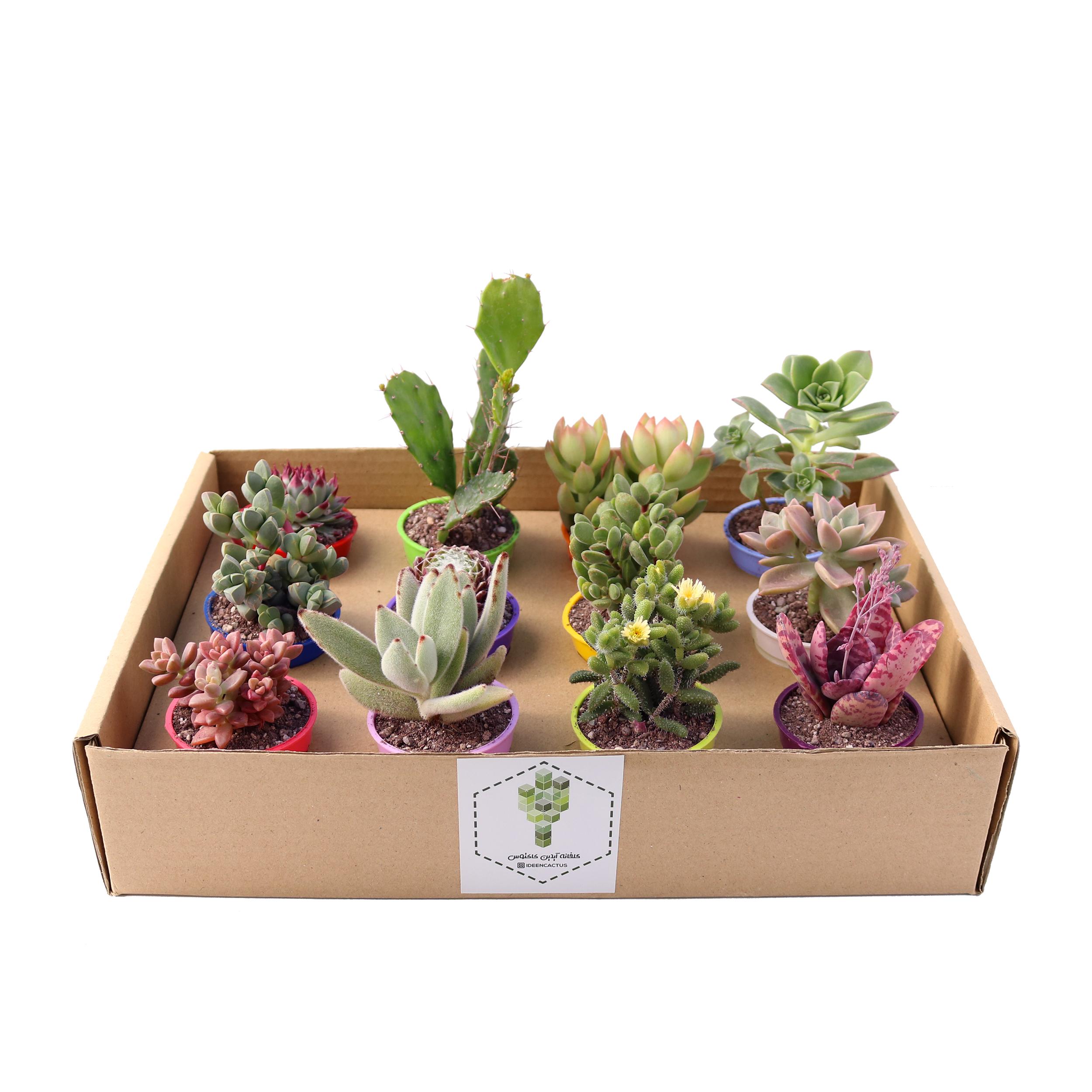 گیاه طبیعی کاکتوس و ساکولنت آیدین کاکتوس کد CB-004 بسته 12 عددی thumb 4