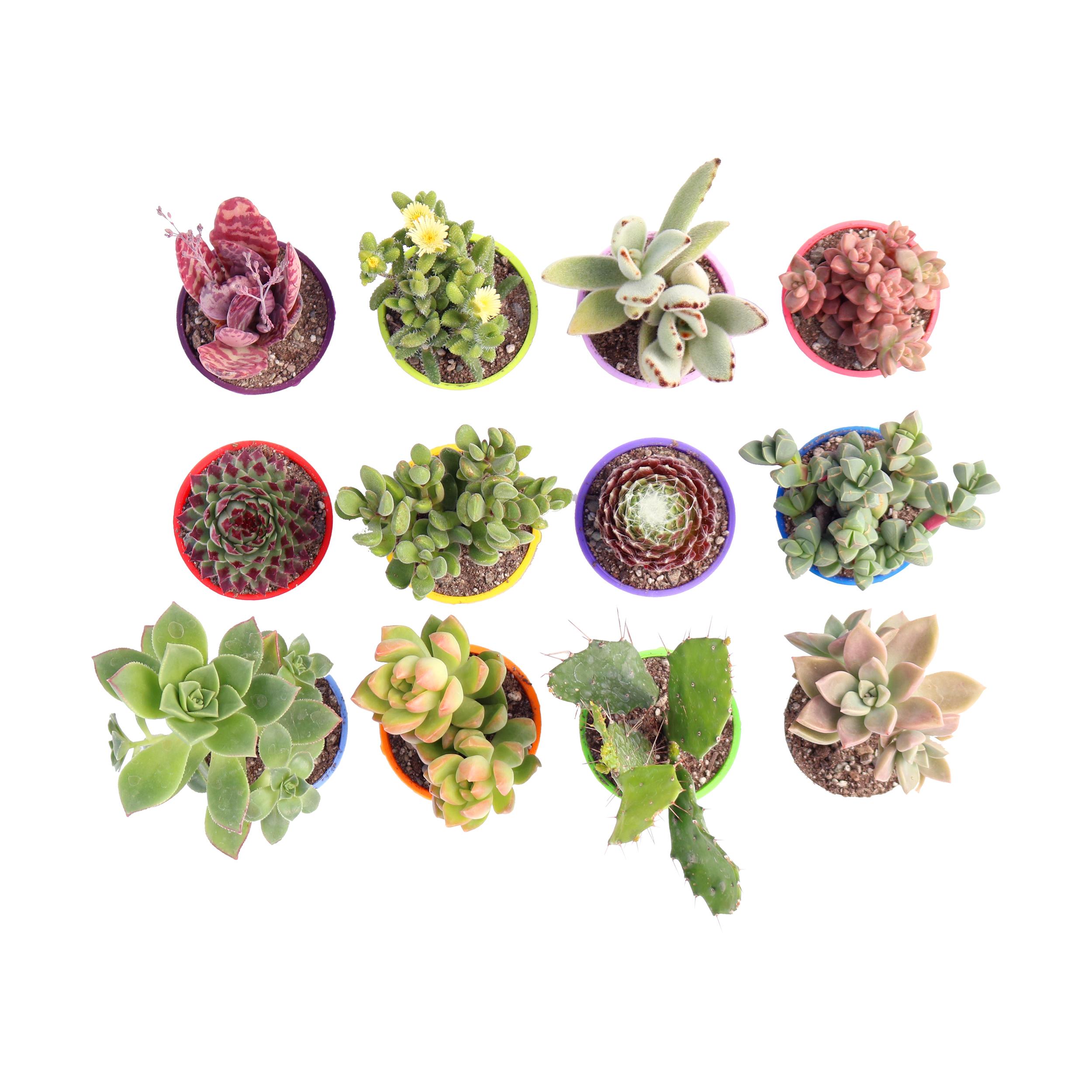گیاه طبیعی کاکتوس و ساکولنت آیدین کاکتوس کد CB-004 بسته 12 عددی main 1 2