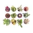 گیاه طبیعی کاکتوس و ساکولنت آیدین کاکتوس کد CB-004 بسته 12 عددی thumb 2